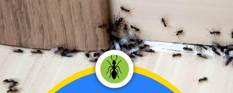 Ant Control Nicholls