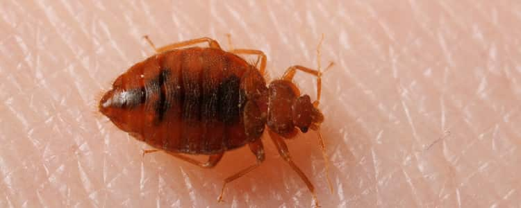 Bed Bug Control Nicholls
